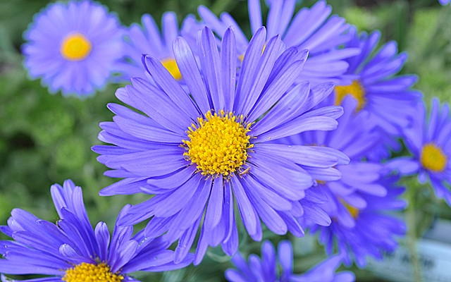 Late Purple Aster Spreading - Aster Symphyotrichum Patens